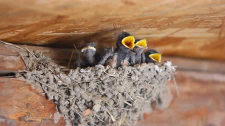 fészek : Swallow feeding baby birds