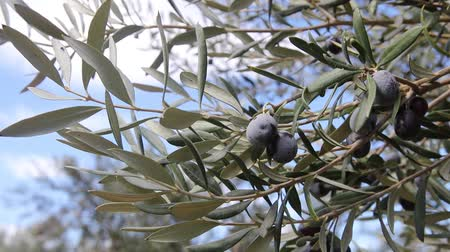 olijven : Olive tree Stockvideo