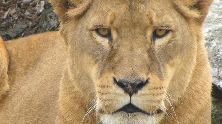 A lioness looking straight to camera...