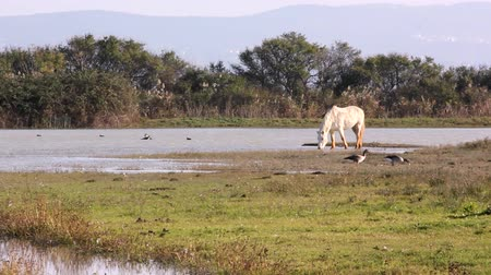 pântano : Camargue Horses In The Wild