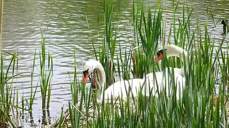 bird family : swan family by the riverside