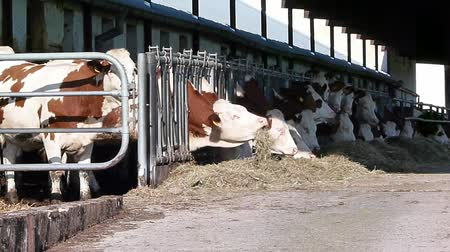 dairy animal : cowshed 1