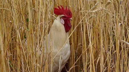domestic animals : White cock in grain Stock Footage
