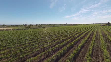 winnica : Aerial view of vineyard (italy) Wideo