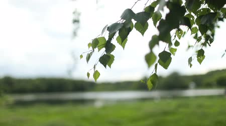 sun beam : Young juicy green leaves on the branches of a birch