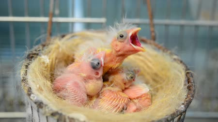 voracious : breeding birds in the nest canaries newly born