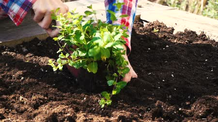 self sufficiency : Young woman planting mint in the raised bed Stock Footage