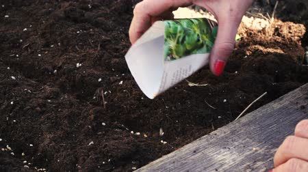 self sufficiency : Young woman seeding corn salad, field salad in the high bed Stock Footage