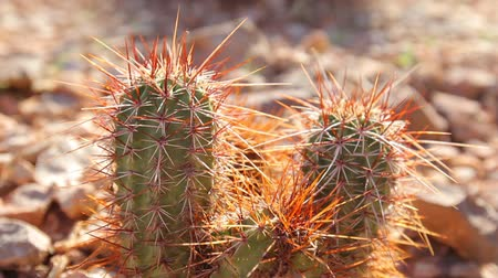 kaktusz : Desert Cactus in Grand Canyon National Park