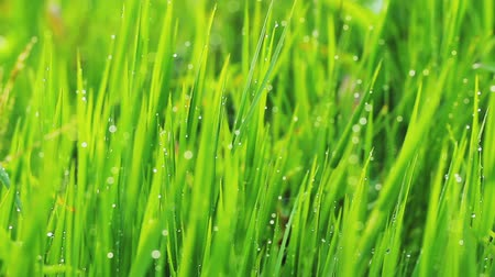 świeżość : Close up of fresh grass with water drops in the early morning