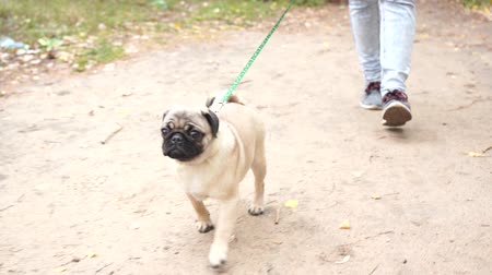 домашнее животное : Pug walks in the park. Happy puppy resting. The dog, enjoying nature Стоковые видеозаписи
