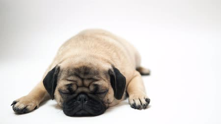 олененок : Funny Pug Puppy on white background. pigeon puppy with big eyes on white background