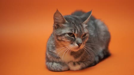 kittens playing : Gray cat on orange background. Stock Footage