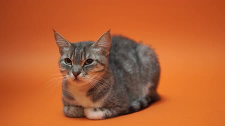 mourek : Gray cat on orange background. Dostupné videozáznamy