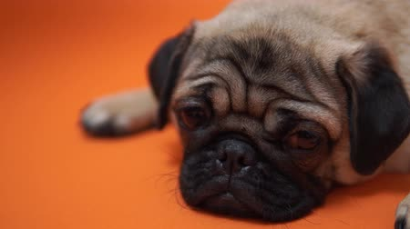 doubt : Funny Pug Puppy on orange background. Pigeon puppy with big eyes Stock Footage