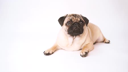 vrásčitý : Pug, dog on white background. Cute friendly fat chubby pug puppy. Pets, dog lovers, isolated on white.