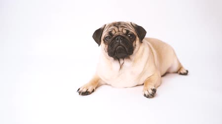олененок : Pug, dog on white background. Cute friendly fat chubby pug puppy. Pets, dog lovers, isolated on white.