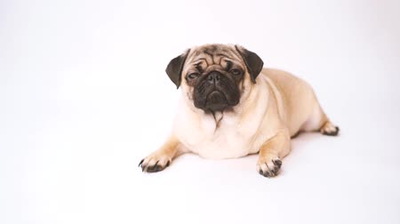 kolouch : Pug, dog on white background. Cute friendly fat chubby pug puppy. Pets, dog lovers, isolated on white.