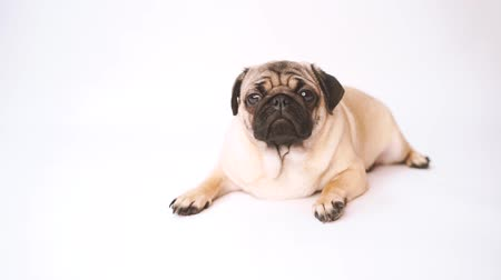 zmarszczki : Pug, dog on white background. Cute friendly fat chubby pug puppy. Pets, dog lovers, isolated on white.