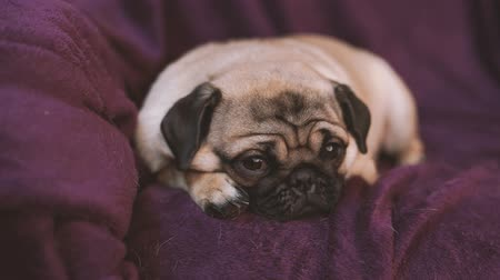 кровать : Funny pug, puppy resting on a chair. Spitz with huge eyes Стоковые видеозаписи