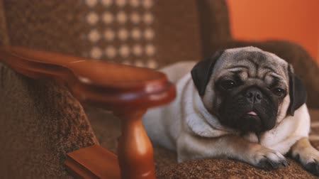 bege : Funny pug, puppy resting on a chair. Spitz with huge eyes Vídeos