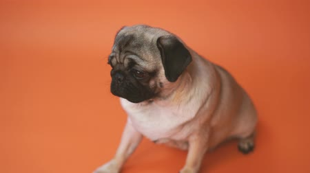 buldok : Funny Pug Puppy on orange background. Pigeon puppy with big eyes Dostupné videozáznamy