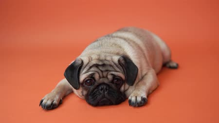 buldog : Funny Pug Puppy on orange background. Pigeon puppy with big eyes Wideo