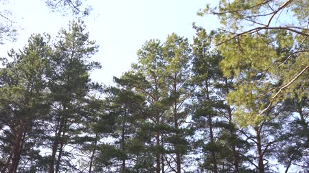 ângulo : Waggling coniferous trees from below