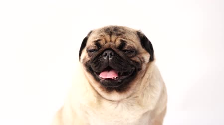 tongue out : Dog, pug sitting and panting, 1 year old, isolated on white background
