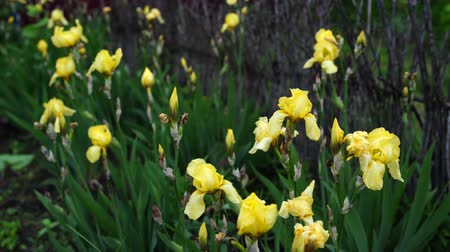 yemyeşil bitki örtüsü : Yellow irises flowers in the grass after the rain. Fresh irises in the spring garden.