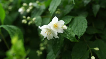 yasemin : jasmine flower growing in a green garden