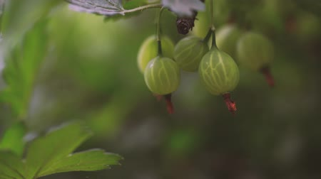 fragrância : Ripe gooseberries with transparent skin in garden Vídeos