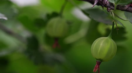 сладость : Ripe gooseberries with transparent skin in garden Стоковые видеозаписи