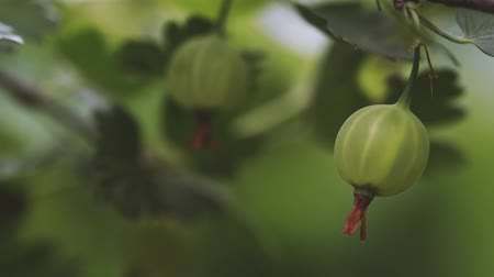 egres : Ripe gooseberries with transparent skin in garden Stock mozgókép