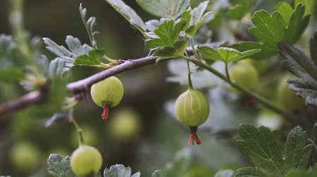 agrest : Ripe gooseberries with transparent skin in garden Wideo