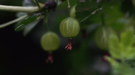 édesség : Ripe gooseberries with transparent skin in garden Stock mozgókép