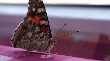 paw : a beautiful butterfly is an insect from the Lepidoptera order. macro mode
