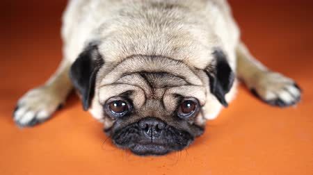 Funny pug puppy, on orange background. Pug posing for the camera. Stok Video