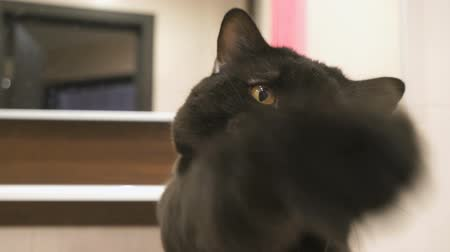 bengali : British black cat with orange eyes hunts its paw for the camera Stock Footage