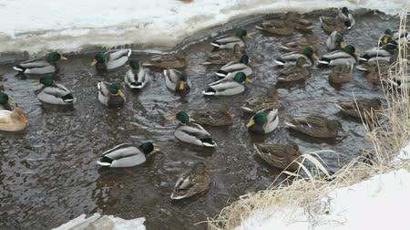 žalud : Ducks and drakes swim in the red creek a cold winter Dostupné videozáznamy
