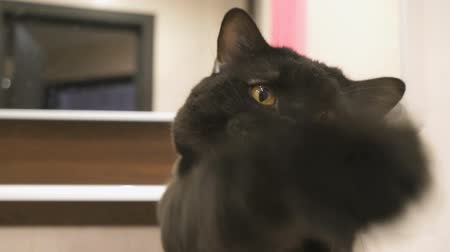 bengali : British black cat hunts its paw for the camera