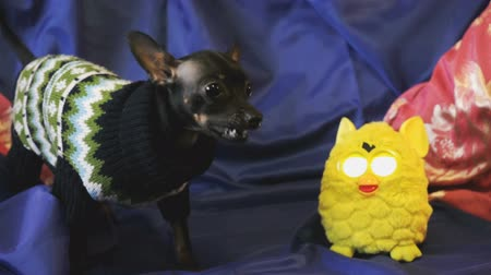 havlama : Dog toy-terrier barks and plays with a yellow toy Stok Video
