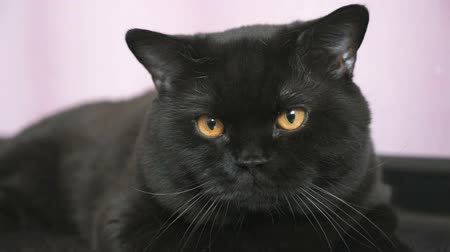 peppy : Black British cat with orange eyes huns for a toy