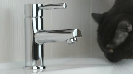 brit : Male hands opening chrome-plated tap of water for british black cat in order to drink water