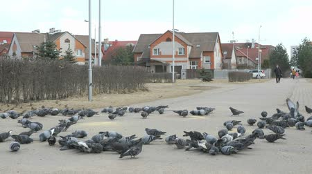 famished : Flock of pigeons and sparrows eating millet in urban park in spring