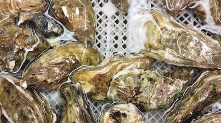oysters : A look at a box of oysters in purified water Stock Footage