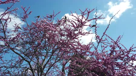 necked : The Judas tree has a beautiful ring-necked parakeet Stock Footage