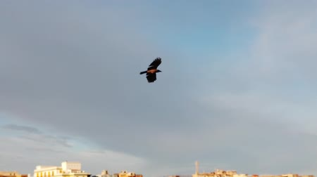 okřídlený : Slow motion video with a crow flying in the blue summer sky