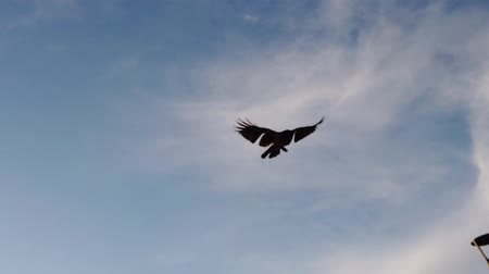 mítosz : Slow motion video with a crow flying in the blue summer sky