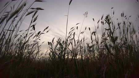 counryside : Shot from the ground at sunset in an uncultivated field with silhouettes of ears moving with wind Stock Footage